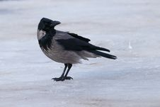 Free Hooded Crow On Ice Royalty Free Stock Photography - 15922137