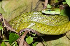 Red Tailed Green Snake Royalty Free Stock Photos