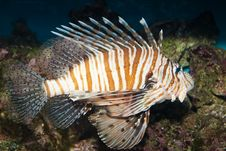 Red Volitan Lionfish Royalty Free Stock Photography