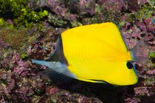 Free Long Nose Butterflyfish Stock Photo - 15922590