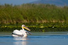 Free White Pelican Taking Off Stock Photography - 15923082