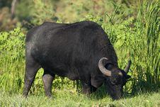 Free Water Buffalo (female) Grazing Royalty Free Stock Photography - 15923337