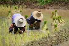 Free Rice Plantation Royalty Free Stock Photography - 15924427