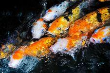 Free Koi Fish Stock Images - 15925074