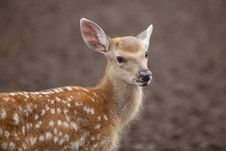 Free Spotted Deer Royalty Free Stock Image - 15925446