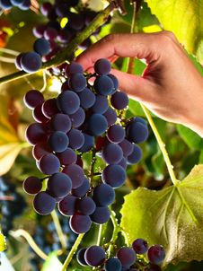 Picking Sweet Grapes Within Vineyard Royalty Free Stock Photography