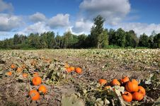 Free Harvest In A Field Of Pumpkins In Early Fall Royalty Free Stock Photo - 15926295