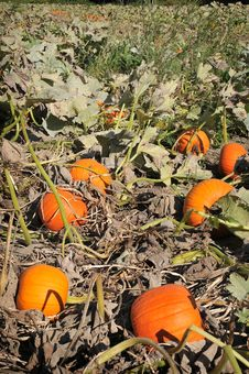 Harvest In A Field Of Pumpkins In Early Fall Stock Photography