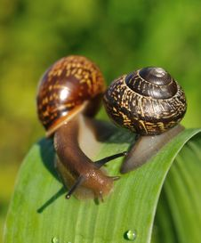 Free Two Snail Stock Photography - 15926822