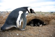 Free Magellan Penguins On An Island Royalty Free Stock Photography - 15929457