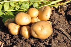 Freshly Potatoes Stock Photo