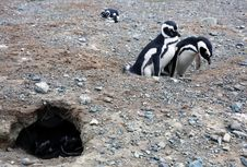 Free Magellan Penguins On An Island Stock Photo - 15929810
