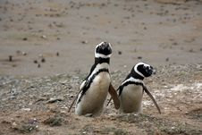 Free Magellan Penguins On An Island Stock Images - 15929844