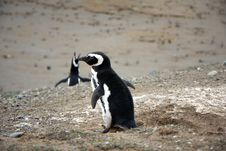 Free Magellan Penguins On An Island Stock Photos - 15929863