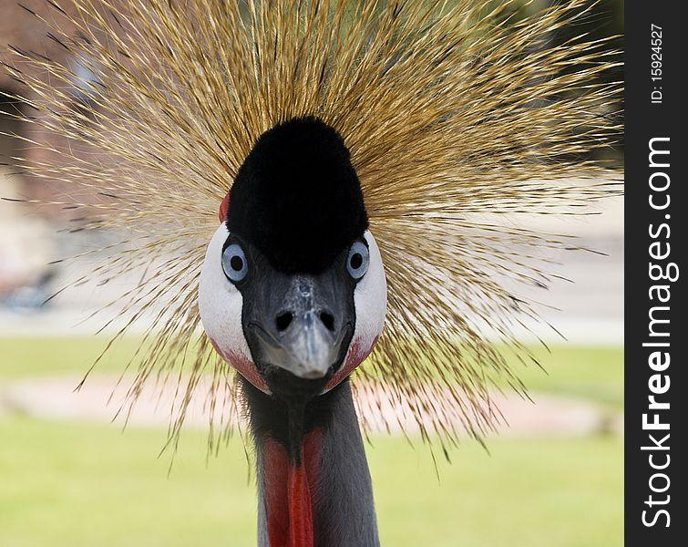Black Crowned Crane. The Look.