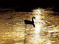 Free Bird On River. Stock Photo - 15930560