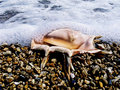 Free Sea Cockleshell Stock Photo - 15933880