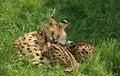 Free Nursing Cheetah Royalty Free Stock Photo - 15934195