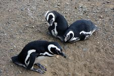 Magellan Penguins On An Island Royalty Free Stock Image