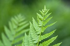 Free Fern Royalty Free Stock Images - 15930099