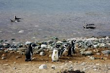 Magellan Penguins On An Island Stock Images