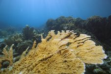 Free Elkhorn Coral In Pristine Condition Stock Image - 15930191