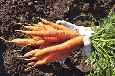 Free Fresh Young Carrot On Hands Stock Images - 15930274