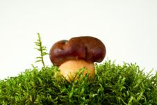 Free Mushroom On Moss Royalty Free Stock Images - 15930639