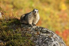 Hoary Marmot Sitting On Rock In Hatcher Pass, AK Royalty Free Stock Photo