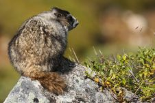 Free Marmot Perched Atop A Rock In Hatcher Pass, AK Royalty Free Stock Photos - 15932718
