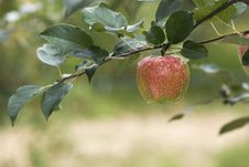 Free Red Apple On A Branch Stock Image - 15933821