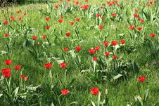 Free Meadow Full Of Tulips Royalty Free Stock Images - 15934019