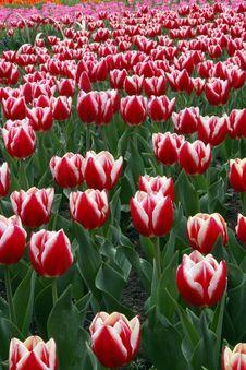 Free Tulip In Hangzhou, China. Stock Photos - 15935833
