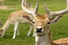 Free Deer In Field Royalty Free Stock Images - 15936559