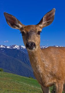 Free Portrait Of Deer In Front Of Mountains Stock Photo - 15937340