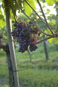 Free Vineyard Weil Am Rhein Germany Stock Images - 15939484