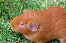 Free Ginger Guinea Pig Royalty Free Stock Images - 15939489