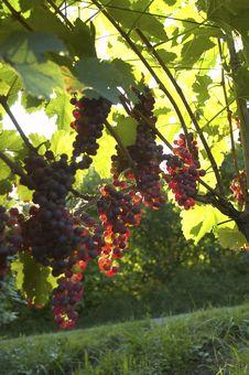 Free Vineyard Weil Am Rhein Germany Stock Image - 15939501