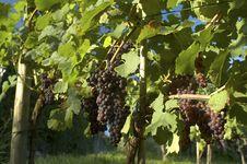 Free Vineyard Weil Am Rhein Germany Stock Photos - 15939503