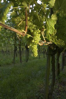 Free Vineyard Weil Am Rhein Germany At Sunset Royalty Free Stock Photos - 15939518