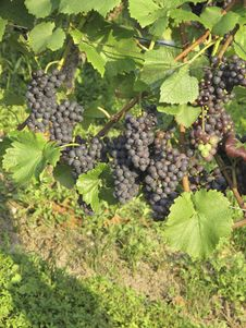Free Vineyard Weil Am Rhein Germany Stock Image - 15939541