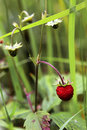 Free Berry Of Wild Strawberry Royalty Free Stock Photo - 15941005