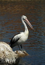 Free Australian Pelican Royalty Free Stock Image - 15941346