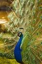 Free Peacock Royalty Free Stock Photos - 15942158