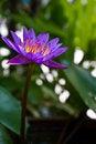 Free Purple Lotus Stock Photo - 15944030