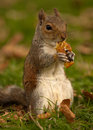 Free Squirrel Eating An Apple Core Stock Photography - 15948752