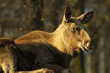 Free Moose Cow  (Alces Alces) Stock Images - 15940184