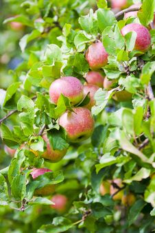 Free Tempting Red Apple Royalty Free Stock Photos - 15940328