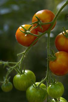 Free Tomato (Solanum Lycopersicum) Plant Royalty Free Stock Image - 15940576