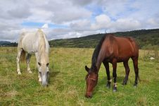 Free Horses On A Summer Pasture. Stock Photos - 15941043